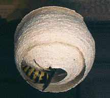 Wasps Nest in Tree images